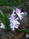 Ogrodnik-amator, opis rośliny, Śnieżnik lśniący,  Chionodoxa luciliae, Glory of the snow, uprawa śnieżnika lśniącego, opis rośliny,  kwiaty wieloletnie, rośliny cebulowe, rośliny bulwiaste,  rośliny kwitnące szafirowo, rośliny kwitnące na niebiesko, rośliny o drobnych kwiatach, kwiaty łatwe w uprawie