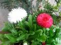 Ogrodnik-amator, opis rośliny, Stokrotka, Bellis Daisy, uprawa stokrotki, opis rośliny, uprawa stokrotek, Kwiaty dwuletnie, stokrotka kwiat