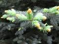 Ogrodnik-amator, opis rośliny, świerk kłujący, Picea pungens, uprawa świerka kłującego, świerki kłujące, drzewa iglaste