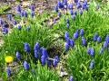 rośliny  kwiaty wiosenne , szafirki