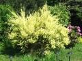 Ogrodnik-amator, opis rośliny, szczodrzeniec, chamaecytisus, Common Broom, uprawa szczodrzeńców,  krzewy kwitnące wiosną, krzewy o żółtych kwiatach