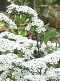 Ogrodnik-amator, opis rośliny, Tawuła wczesna, Spiraea arguta, Bridal wreath, uprawa tawuły wczesnej, tawuła wczesna krzew