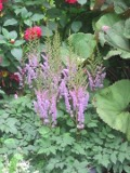 kwiaty trudniejsze w uprawie, kwiaty wieloletnie, byliny, tawułka, kwiaty do ogródka