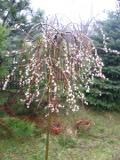 krzewy liściaste wierzba iwa