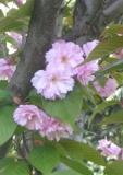 drzewa liściaste wiśnia piłkowan