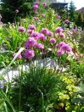 Ogrody, zdjęcia zawciąg nadmorskikwiat, zawciągi w  ogrodzie