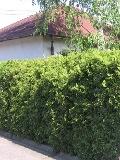ogrodnik, żywopłoty, rośliny na żywopłot