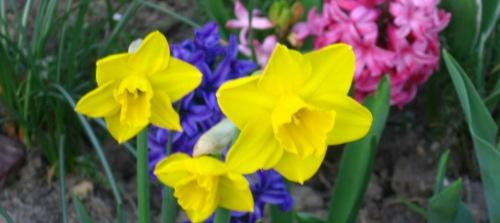 wiosenne cebulki, rośliny cebulowe i bulwiaste