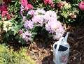 rododendrony w ogrodzie, konewka, kwiaty w ogrodzie, krzewy ozdobne, ogród ozdobny, aranżacje,  dekoracje , urządzanie ogrodu, aranżacje z roślin, galeria ogrodowa