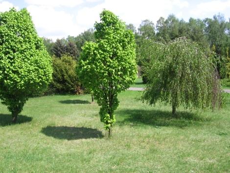 drzewa ozdobne, drzewa ogrodowe,  drzewa kuliste i zwisające, drzewa do ogrodu, drzewa ozdobne, dekoracyjne drzewa