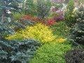 ogród iglaki, kolorowe liście, kolorowe igły, ozdobne rabaty, zdjęcia ogrodów, galeria ogrodowa, ogród ozdobny
