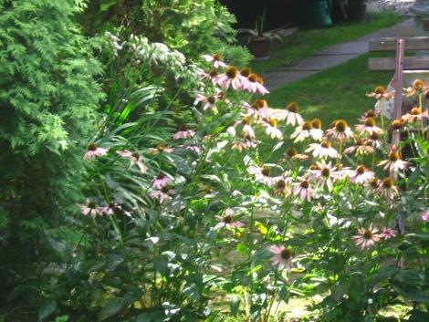 jeżówka, aranacje z jeżówką, bylina różowe kwiaty, galeria ogrodowa