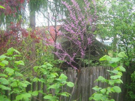 judaszowiec, aranacja z judaszowce, drzewo różowe kwiaty, galeria ogrodowa