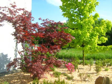 klon palmowy, aranacja z klonami, drzewo z ozdobnymi liśćmi, galeria ogrodowa
