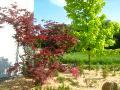 drzewa w ogrodzie, klony,  ogród ozdobny,   rośliny ozdobne, aranżacje,  klon palmowy, klon pospolity, urządzanie ogrodu, aranżacje z roślin, galeria ogrodowa