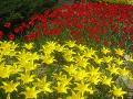 ogród ozdobny, tulipany, kwiaty, rośliny cebulowe i bulwiaste