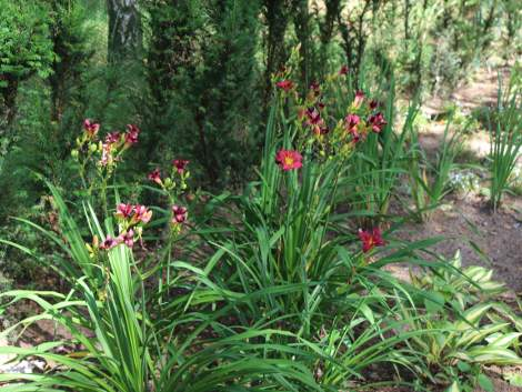 bordowe liliowce