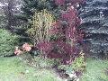 majowa kompozycja, azalia, tulipan perukowiec i  rododendron, zdjęcia ogrodów, galeria ogrodowa