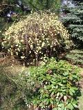 wczesna wiosna, krzewy ogrodowe, pomysły do ogrodu, pomysł na ogród, wystawy ogrodnicze, urządzanie ogrodu, aranżacje z roślin, galeria ogrodowa