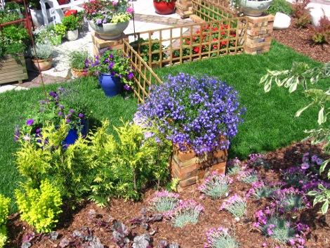 lobelia, aranacjaz lobelią, niebieskie kwiaty, galeria ogrodowa