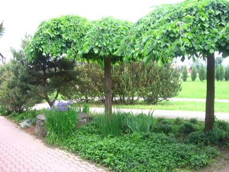 Drzewa Do Ogrodu Ogrodnik Amator Amatorska Uprawa Ogrodu