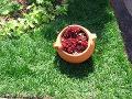 rośliny w naczyniach, rojniki w garnku, rośliny na skalniak, dodatki ogrodowe, kwietniki, zdjęcia, galeria ogrodowa