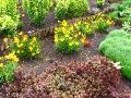 skarpa, żółte kwiaty, nachyłek lancetowaty, rozchodniki,  ogrodnik-amator, kompozycje ogrodowe, aranżacje ogrodowe,  obsadzenie skarpy