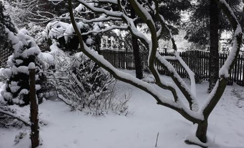 ogród , rośliny do ogrodu styczeń w ogrodzie kalendarz ogrodnika, ogrodnik-amator.pl