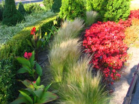 begonia stale kwitnaca, kanna turzyca włosista, kompozycje z begoniami stale kwitnacymi, pomysły z begonią
