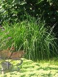 ogrodnik -  trawy ozdobne, rosliny wieloletnie, trawy, na rabaty