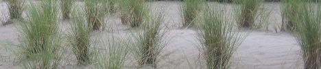 zdjęcia traw na piaskach, gleba piaszczysta w ogrodzie