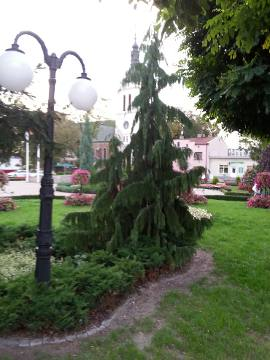 cyprysik nutkajski, nasadzenia miejskie i parkowe, iglak, iglaki o zwisłym pokroju, galertia ogrodowa