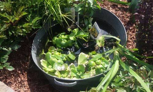 komary w ogrodzie, woda w ogrodzie, sposoby na komary