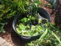 mała aranżacja wodna, oczko wodne w wannie, aranżacje ogrodowa, galeria ogrodowa