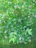 Ogrodnik-amator, opis rośliny, Abelia mosańska, Abelia mosanensis, Fragrant Abelia or Korean , uprawa abelii mosańskiej, opis rośliny, krzew  o biało różowych kwiatach, krzewy  trudniejsze w uprawie, krzewy lisciaste półzimoznielone, krzewy ozdobne,  rośliny pachnące