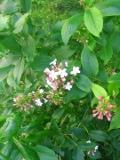 rośliny krzewy , abelia mosańska