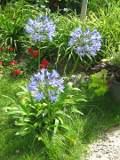 Ogrody, zdjęcia agapanta, agapant afrykański w ogrodzie