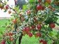 Ogrodnik-amator, opis rośliny, Agrest pospolity, Ribes grossularia, Gooseberry, uprawa agrestu, krzewy owocowe, krzewy o zielonych owocach, ogród owocowy, drzewa i krzewy owocowe, rośliny użytkowe, rośliny owocujące, rośliny jagodowe