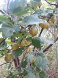 ogród użytkowy, owoce, warzywa zioła, agrest, odmiany