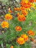 kwiaty ogrodowe, kwiaty łatwe w uprawie, kwiaty jednoroczne, aksamitka, aksamitki