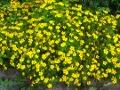 Ogrodnik-amator, opis rośliny, Aksamitka wąskolistna. Tagetes tenuifolia. Marigold, uprawa aksamitki wąskolistnej, kwiat, kwiaty jednoroczne, rosliny o żółtych i pomarańczowych kwiatach, kwiaty na każdą glebę, rośliny o ozdobnych kwiatach, rośliny o ostrym zapachu