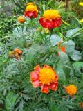 aksamitki, aksamitka orange flamme, ogród wiejski, rośliny do ogrodu w stylu wiejskim, ogrodnik