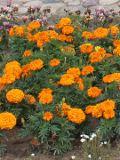 ogród ozdobny , kwiaty, rośliny ozdobne, do ogrodu, balkony i tarasy