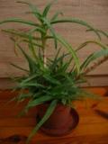Ogrodnik-amator, opis rośliny, Aloes, Aloe vera, Aloe, uprawa aloesów,  sukulent, rośliny do domu, rośliny doniczkowe, rośliny zdrowotne, rośliny pokojowe, rośliny do suchych pomieszczeń, rośliny wytrzymałe, sukulenty, rośliny łatwe w uprawie, kwiaty doniczkowe
