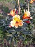 ogród ozdobny, Alstremeria, lilia Inków , kwiaty, rośliny cebulowe i bulwiaste