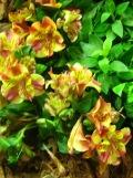 rośliny cebulowe, bulwiaste,lilia inków alstromeria,  rośliny na lato