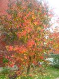 Ogrodnik-amator, opis rośliny, Ambrowiec amerykański, ambrowiec balsamiczny, Liquidambar styraciflua, American Sweetgum, Redgum, uprawa ambrowca balsamicznego, opis rośliny, drzewo o kolorowych liściach jesienią, drzewa łatwe w uprawie
