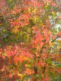 drzewa liściaste ambrowiec balsamiczny