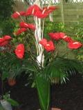 Ogrodnik-amator, opis rośliny, Anturium, Anthurium, Flamingo flower, Boyflower, Tailflower uprawa anturium,  rośliny do domu, rośliny doniczkowe, rośliny pokojowe, rośliny długo kwitnące, rośliny o efektownych kwiatach