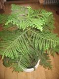 araukaria wyniosła,  Araucaria heterophylla, iglak,  rosliny pokojowe, rośliny doniczkowe